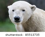 Polar bear (Ursus maritimus) portrait - stock photo