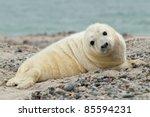 baby grey seal  halichoerus... | Shutterstock . vector #85594231