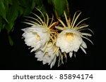 Night Blooming Cereus. Also...