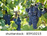 red grapes on the vine | Shutterstock . vector #85910215