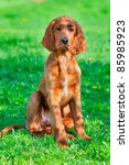 Young Irish Setter Dog Puppy 4...