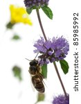 Small photo of Female worker bee, Anthophora plumipes, on plant in front of white background