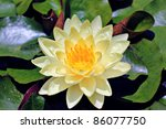 Yellow Water Lily In A Pond