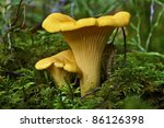 Chanterelles, two yellow ones in the forest with moss - Cantharellus Cibarius - stock photo