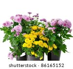 chrysanthemum flowers with green leaves in a pot - stock photo