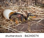 Tired hatchling duck resting beside its egg - stock photo