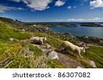 Two Sheep Running Along The...