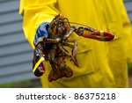 A Freshly Caught Maine Lobster...