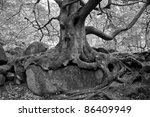 Black And White Beech Tree And...