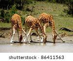 giraffes drinking from a... | Shutterstock . vector #86411563