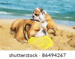 Stock photo english bulldog and a puppy are playing on the beach with a freezbie 86494267