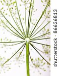 Close Up Of Dill Flower Umbels...