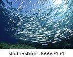 Sardine School In The Red Sea