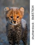 Stock photo a portrait of a very young cheetah cub in golden light 86857834