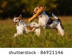 Two Parson Russell Terrier...