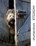 An 18 month old blonde briard dog peeking around a cracked open barn door. - stock photo