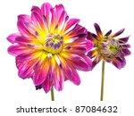 dahlia flower on a white... | Shutterstock . vector #87084632