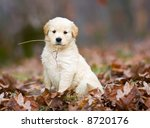 A Purebred Golden Retriever...