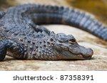 A Chinese Yangtze Alligator...