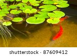 Beautiful koi in pond - stock photo