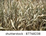 natural full frame background with withered corn plants - stock photo