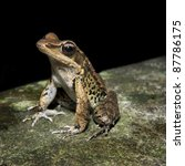 Small photo of Latouche's Frog, Kuatun Frog (Rana latouchii)