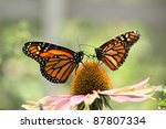 Two Monarch Butterflies On...