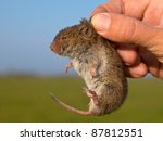 Field vole (Microtus agrestis) kept in hand by researcher - stock photo