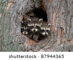 Stock photo photograph of three young raccoons scrambling over each other to peer out a hole in a large tree in 87944365