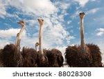 african ostriches | Shutterstock . vector #88028308