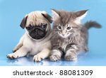 Stock photo kitten maine coon and puppy pug 88081309