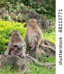 Monkey family (Macaca fascicularis) at khao wang ,Petchburi Thailand - stock photo