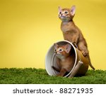 Stock photo abyssinian kittens age month 88271935