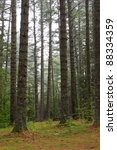 Old Growth Yellow Pine Trees O...