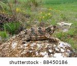 A Spiky Lizard  The Texas...