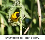 Male Southern Masked Weaver...