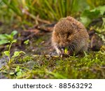 Field vole (Microtus agrestis)  eating root - stock photo