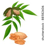 Pecan Nuts With Leaves Isolate...
