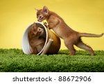 Stock photo abyssinian kittens age month 88672906