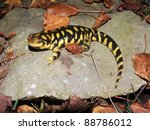 Small photo of Barred Tiger Salamander, Ambystoma mavortium, giant bright yellow and black salamander of North America