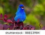 indigo bunting singing out... | Shutterstock . vector #88813984