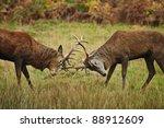 Jousting Fighting Red Deer...