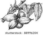 butternut  white walnut  | Shutterstock .eps vector #88996204