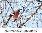 chaffinch sitting on branch in... | Shutterstock . vector #88998565