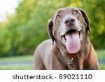 Chocolate Labrador Retriever A...