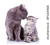 Stock photo all the love in the world shown between a big british cat and a small silver tabby 89164468