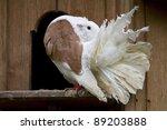 A Fantail Dove Outside It's...