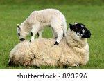 A Sheep Lying In A Field In...