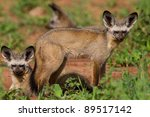 A Pair Of Bat Eared Foxes In...