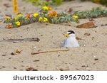 California Least Tern  Sternul...